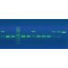 Окрашивание ДНК